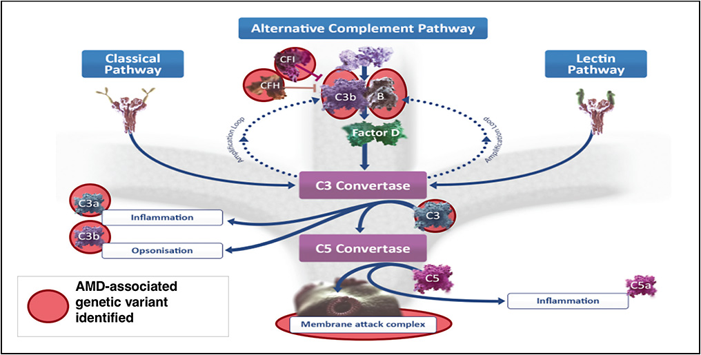 Figure 1. Components of the complement pathway that have been identified as an AMD-associated genetic variant are highlighted. CFI, complement factor I; CFH, complement factor H. Elements are not depicted to scale. Figure based on the scientific information from Owen J, et al, Kuby Immunology, 7th ed. New York: W.H. Freeman and Co Ltd; 2013; Walport MJ. N Engl J Med. 2001;344(14):1058-1066; Boyer DS, et al. Retina. 2017;37(5):819-835.22-24